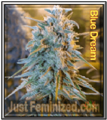Blue Dream Super Haze x Blueberry Cannabis Seeds